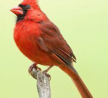 Mr. Redbird by Bonnie T.  Barry