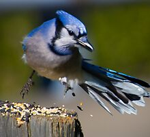Jumpin' Blue Jay  by Robert Burdick