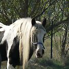 "Gypsy Cob mare - ""Leonie"" by louisegreen"