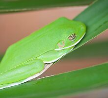 Hangin Out, green tree frog by Jenny Dean
