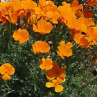 California Poppies by marilyn diaz