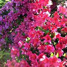 Azaleas In the Bright Sunlight by Jane Neill-Hancock