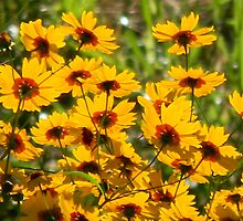 Morning Sun Lights Coreopsis by Navigator