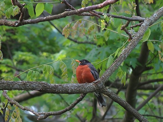 Fat and Happy Robin Red Breast by Ron Russell