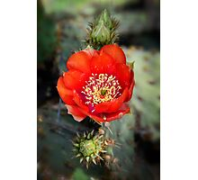 Red Prickly Pear Photographic Print