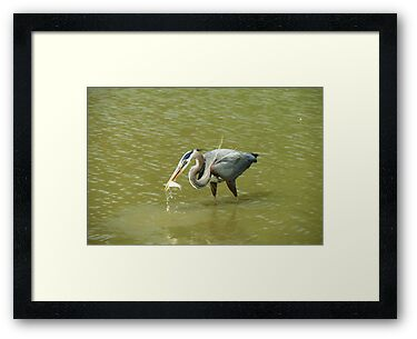 Great Blue Heron with Lunch by Ron Russell