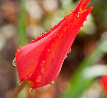Single red tulip after the rain by KSKphotography
