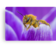 Pollen-covered Bee On Crocus Petal. Metal Print