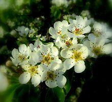 DEAD PEAR TREE BLOSSOMS by Debbie Robbins
