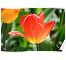 Full Bloomed Tulip Poster