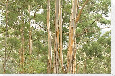 Karri Trees at Harington Break by pennyswork