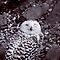 Snowy Owl by Vac1