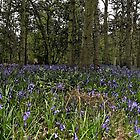 Bluebell Carpet by Acutogirl