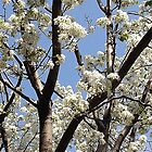 Pear Tree Spring Light by SylviaS