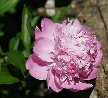 Pink Peony by Rick  Friedle