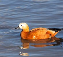 Female Ruddy Shelduck by Graham Prentice