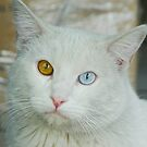 Blue-Brown Eyed Cat by Guatemwc
