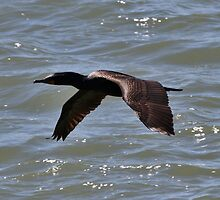 Cormorant  in Flight by fototaker
