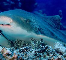Leopard Shark, Great Barrier Reef by Erik Schlogl