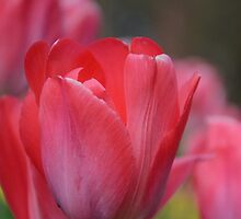 Tulips from Botanic Gardens in Belfast by MLara