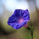 Periwinkle by starless