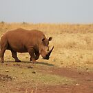 The White Rhinoceros by Darren Stein