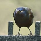 That Grackle Look by KatMagic Photography