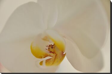 White Orchid, As Is by Kim McClain Gregal