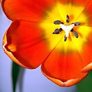 Dazzling Orange Tulip  by SerenaB