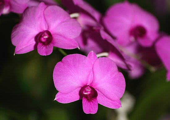 Purple Power: Moth Orchid or Phalaenopsis by Carole-Anne