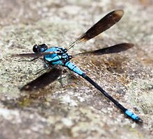 Blue Dragonfly by ADAMAS