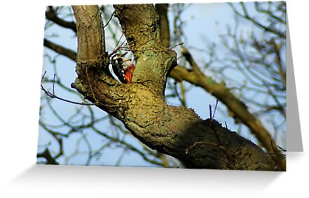 Great Spotted Woodpecker by steppeland
