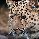 Amur Leopard by Simon Marsden
