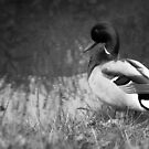 Black and White - Male Wild Duck by vitez-art