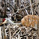 Nesting - Sandhill Crane by jules572