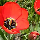 Pretty Red Tulip by VixenFirepaw
