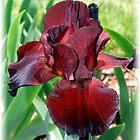 Red Velvet Iris by Christine Lewandowski