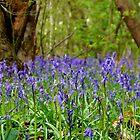 Bluebells by John Dunbar