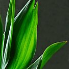 Tulip greens by Robin Nellist