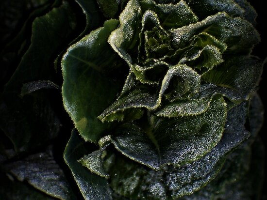 Romaine Touched by the Morning Dew by DionNelson
