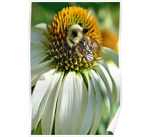 Bumble Bee on Echinacea Poster