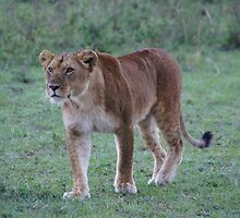lioness in the Masai Mara, Kenya by LSPJS