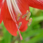 Hippeastrum by TheaShutterbug