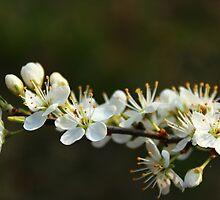 Blackthorn Blossoms by karina5