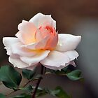 Betty Cuthbert Rose by kathiemt