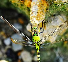 Dragon Fly on a Rock by joevoz