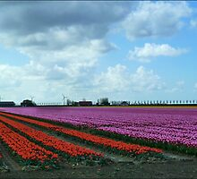 Dutch Tulip Fields. by Janone