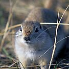 Richardson Ground Squrrel by Michael Collier