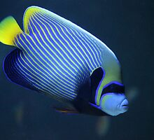 Emperor angelfish by Bob Hardy