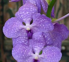 Purple Orchid (Vanda coerulea) by presbi